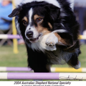 Cody doing agility at the 2004 ASCA National Specialty in Paso Robles, CA. Photo Credit Tien Tran