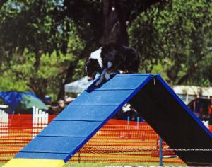 Cody on the A-frame, Mile High Agility, Prescott, AZ May 13, 2001