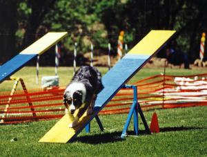 Zoe at Mile High Agility, May 13, 2000