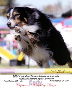 Cody doing agility at the 2004 ASCA National Specialty in Paso Robles, CA.