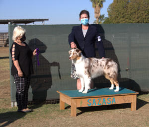 14 Nov 2020 - Winners Dog for a 5pt major under ASCA Senior Breeder Judge Lori Acierto at SAZASA, Litchfield Park, AZ