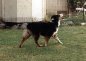 Meeka chasing birds in the back yard, 1988