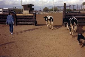 Meeka winning High Score Junior Working with a qualifying score of 73 in Started Cattle under Judge Oby Blanchard at the ASCAZ Silver Specialty, Phoenix, AZ Nov 1989