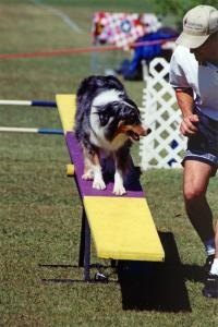 Zoe discussing her willingness to get into the contact zone on the teeter at Jumping Chollas agility, Glendale, AZ