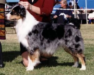 ASCA/AKC/INT'L CH. Capricorn's Blue Storm Brewing, ASCA/AKC CD, JS-N, RS-N, GS-N, NJC, NAC, DNA-VP, CGC