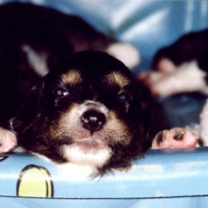 Aster was the first puppy to open her eyes, and was on the move soon after! Here she is, about to climb out of the pool, at about 3 weeks old.