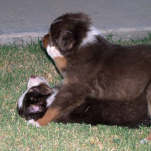 Rooster and Bear at 4 weeks of age