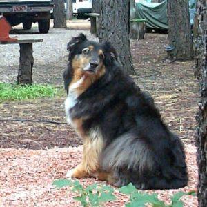 Shadow as an older dog