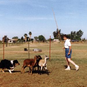 Symon working sheep with Faith