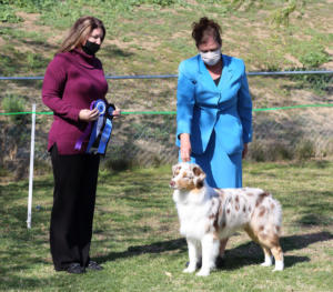 14 Mar 2021 - Winners Dog and Best of Winners for a 4 pt major to finish his ASCA championship under ASCA Senior Breeder Judge Leslie Creelman Sosa at ASC of SDC, El Cajon, CA