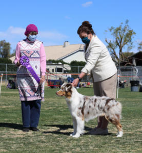 28 Feb 2021 – Winners Dog for a 5 pt major under ASCA Senior Breeder Judge Teena Meadors at ASCAZ, Waddell, AZ