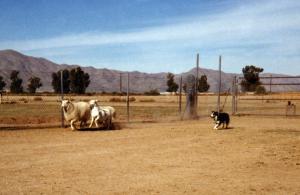 Meeka working sheep at Kaylon & Sandy Howard's, 1988