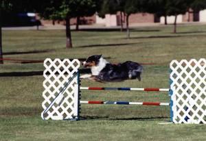 Zoe at Jumping Chollas agility, Glendale, AZ
